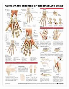 Anatomy And Injuries Of The Hand And Wrist Anatomical