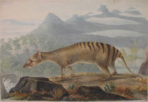 tasmanian thylacine tiger tigers extinct animals were painting extinction driven unfairly alive marsupial dog thylacines still quest lewin john prehistoric