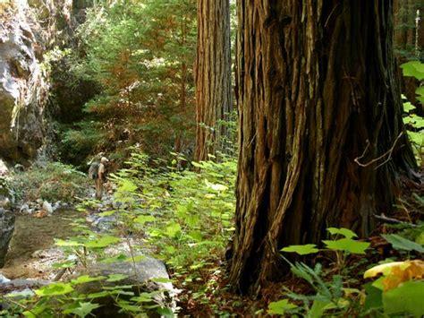 redwood trees wallpaper gallery