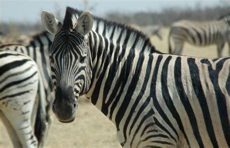 zebra mountain animals zebras endangered wild true horses wildlife ground african dangerous species stripes ordinary would horse