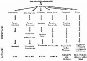 Summary diagram showing the capacity of mesenchymal stem ...
