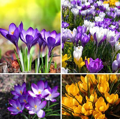saffron seeds saffron flower seeds saffron crocus seeds