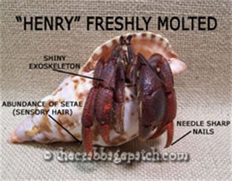 Do Hermit Crabs Shed Legs by Hermit Crab Successful Molting