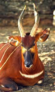 African Bongo Antelope