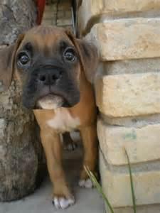 Boxer Puppy Dog Eyes