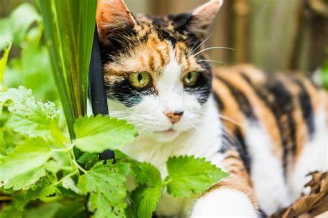 waschbär und katze katzenminze und ihre wirkung auf katzen katze net