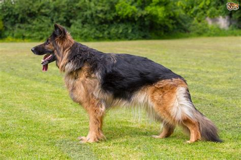 german shepherd  hip dysplasia petshomes