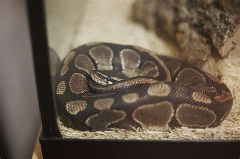 python shedding tips how can i convince my parents to let me get a pet