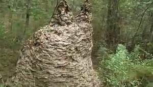 Détruire Un Nid De Guêpes : ce nid g ant contenait pr s d 39 un million de gu pes ~ Melissatoandfro.com Idées de Décoration