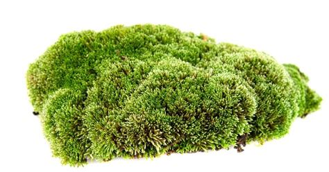 Images Of Moss Moss On A White Background Stock Photo Colourbox