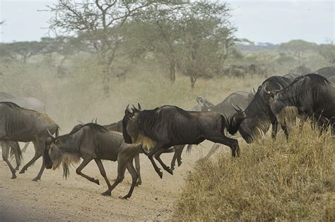 photo wildebeests herd gnus wild  image