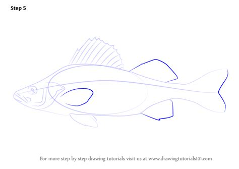 learn   draw  yellow perch fishes step  step
