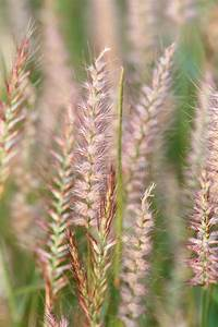 Poaceae Grass Flower  Stock Image  Image Of Summer  Plant