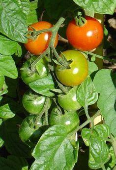 fertilizing tomatoes images tomato fertilizer