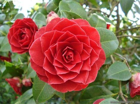 Gambar Bunga Camelia Merah Gambar Bunga