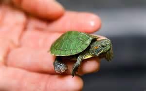 Baby Slider Turtle