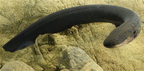 cuisiner une anguille l 39 anguille frappe toujours deux fois sciencesetavenir fr