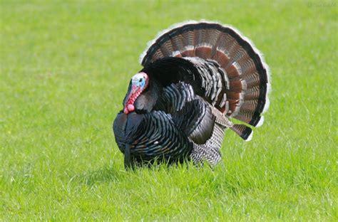 turkey eggs eat why many reason egg chicken