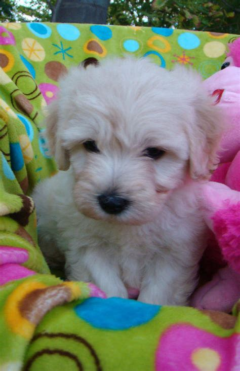 for sale non shedding low allergy small breed puppies
