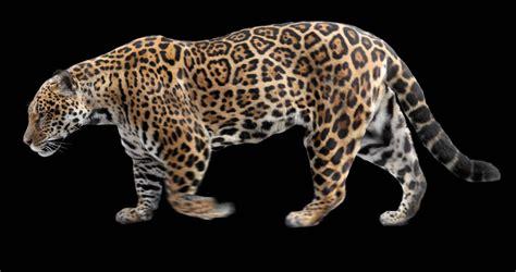Jaguars Moving by Photo Realistic Looping Jaguar Animation Alpha Matte 3d