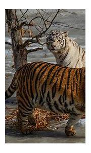 Tiger 4k Ultra HD Wallpaper   Hintergrund   3840x2160   ID ...