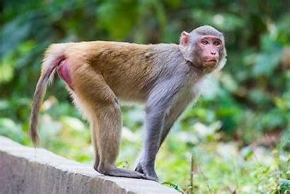 Rhesus Monkey Macaque Pfizer Monkeys Immune Rat