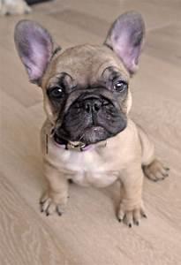 French Bulldog | Animals | Pinterest