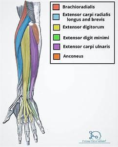 Brachioradialis: Origin, Insertion, Nerve Supply & Action ...  Superficial