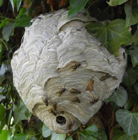 have i got a wasp nest norfolk norwich pest control