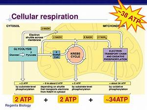 Cellular Respiration  Honors   U00ab Kaiserscience