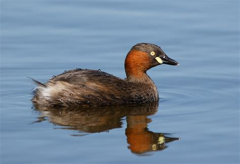 File:Little grebe in Sakai, Osaka, February 2016.jpg ...