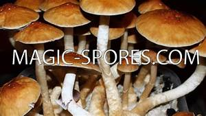 Magic Mushroom P. Cubensis 10CC Spore Syringe Any Strain