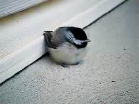 gif LOL animals cute adorable birds sweet aww chickadee ...