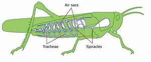 Respiration In Insects