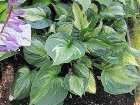 types of hosta plants growing hosta plants and types of hostas old farmer s almanac