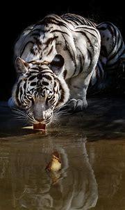 PsBattle: A white tiger drinking water : photoshopbattles