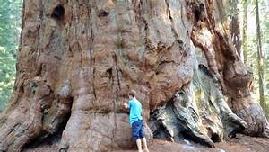 Largest Living Thing On Earth: General Sherman Sequoia ...
