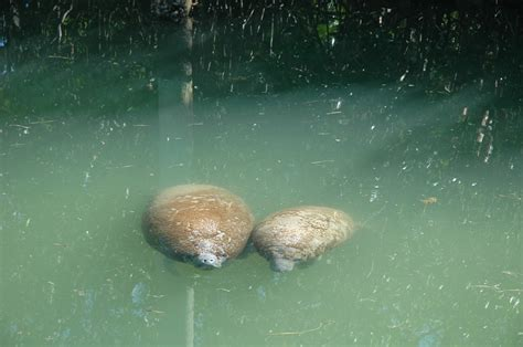 animals endangered park threatened nature manatees including biscayne national pair protected service manatee