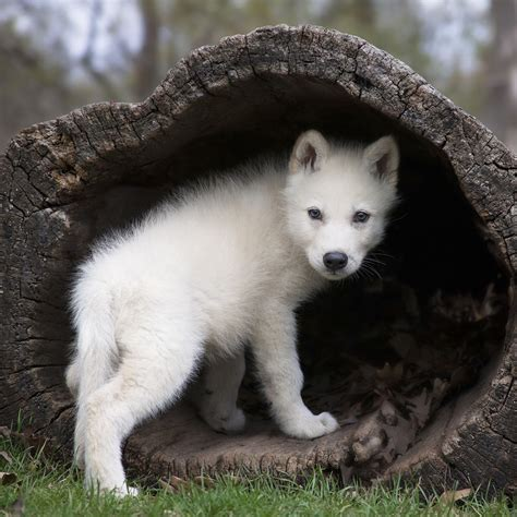 Baby Arctic Wolf Facts