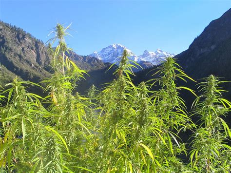 comment faire pousser du cannabis le guide d 233 finitif