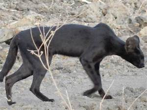 Melanistic serval seen again - Africa Geographic