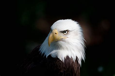 Bald Eagle Frustrated That Rogaine Didn't Do Jack Sh*t