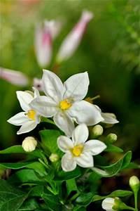 Jasmin Pflanze Pflege : jasmin pflanze pflege schneiden berwintern ~ Markanthonyermac.com Haus und Dekorationen