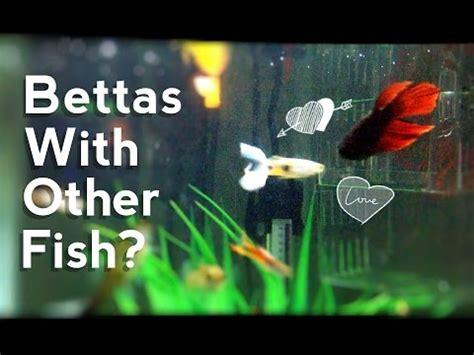 bettas   fish youtube