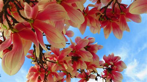 full hd wallpaper pink petal branch sky desktop