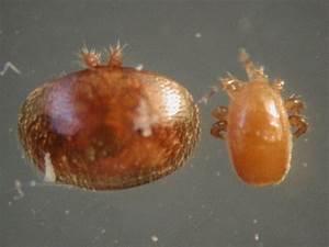 Mites Alimentaires Cycle De Reproduction : tropilaelaps mites bee informed partnership ~ Dailycaller-alerts.com Idées de Décoration