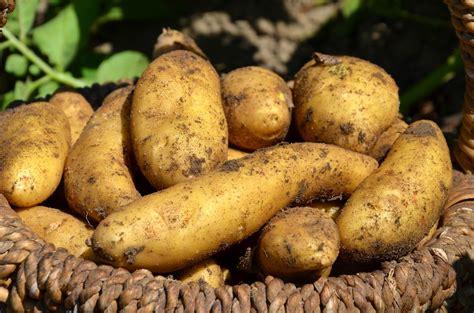 tunis le kg de la pomme de terre fix 233 224 850 millimes l
