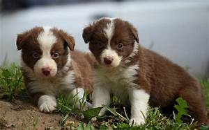 Cute Puppy Dogs: border collie puppies