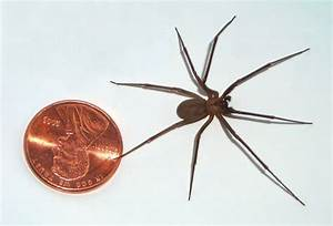 Brown recluse spider Actual Size Image