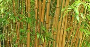 Bambus Pflege Zimmerpflanze : bambus pflanzen pflege und tipps mein sch ner garten ~ Frokenaadalensverden.com Haus und Dekorationen